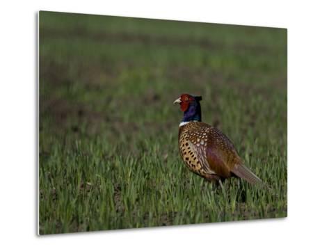 Portrait of a Male Pheasant, Phasianus Colchicus-Joe Petersburger-Metal Print