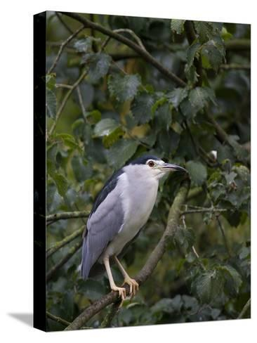 Portrait of a Bird Perched in a Tree-Joe Petersburger-Stretched Canvas Print