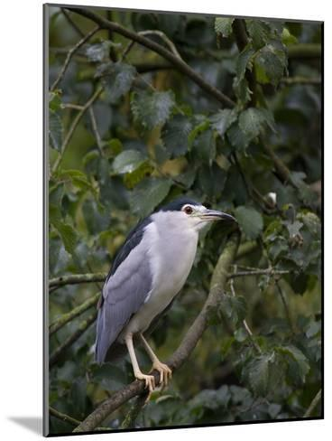 Portrait of a Bird Perched in a Tree-Joe Petersburger-Mounted Photographic Print