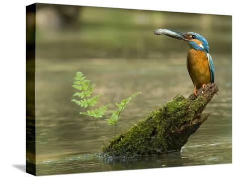 Adult Male Common Kingfisher, Alcedo Atthis, Holds a Topmouth Gudgeon-Joe Petersburger-Stretched Canvas Print