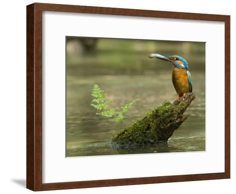 Adult Male Common Kingfisher, Alcedo Atthis, Holds a Topmouth Gudgeon-Joe Petersburger-Framed Art Print