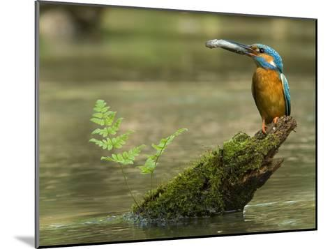 Adult Male Common Kingfisher, Alcedo Atthis, Holds a Topmouth Gudgeon-Joe Petersburger-Mounted Photographic Print