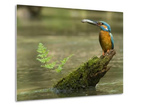 Adult Male Common Kingfisher, Alcedo Atthis, Holds a Topmouth Gudgeon-Joe Petersburger-Metal Print