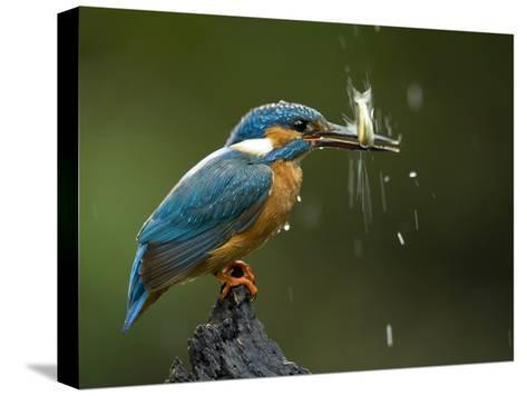 An Adult Male Common Kingfisher, Alcedo Atthis, Shaking a Live Fish-Joe Petersburger-Stretched Canvas Print
