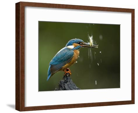 An Adult Male Common Kingfisher, Alcedo Atthis, Shaking a Live Fish-Joe Petersburger-Framed Art Print