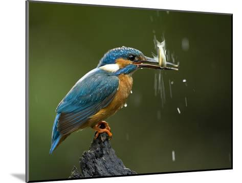 An Adult Male Common Kingfisher, Alcedo Atthis, Shaking a Live Fish-Joe Petersburger-Mounted Photographic Print