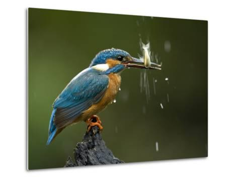 An Adult Male Common Kingfisher, Alcedo Atthis, Shaking a Live Fish-Joe Petersburger-Metal Print