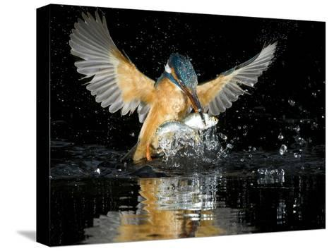 An Adult Female Common Kingfisher, Alcedo Atthis, with a Common Roach-Joe Petersburger-Stretched Canvas Print