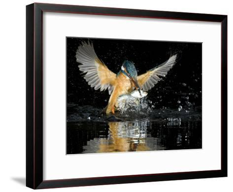 An Adult Female Common Kingfisher, Alcedo Atthis, with a Common Roach-Joe Petersburger-Framed Art Print