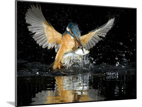 An Adult Female Common Kingfisher, Alcedo Atthis, with a Common Roach-Joe Petersburger-Mounted Photographic Print