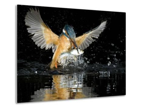 An Adult Female Common Kingfisher, Alcedo Atthis, with a Common Roach-Joe Petersburger-Metal Print