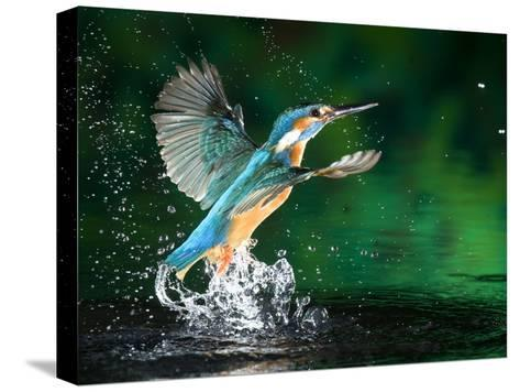 Adult Male Common Kingfisher, Alcedo Atthis, Emerging Without a Fish-Joe Petersburger-Stretched Canvas Print