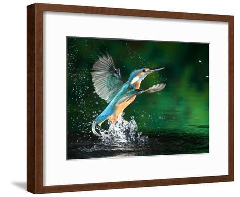 Adult Male Common Kingfisher, Alcedo Atthis, Emerging Without a Fish-Joe Petersburger-Framed Art Print