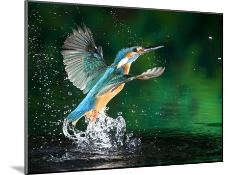 Adult Male Common Kingfisher, Alcedo Atthis, Emerging Without a Fish-Joe Petersburger-Mounted Photographic Print