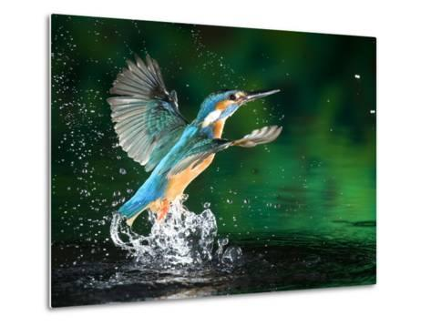 Adult Male Common Kingfisher, Alcedo Atthis, Emerging Without a Fish-Joe Petersburger-Metal Print