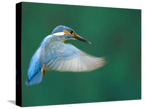 An Adult Male Common Kingfisher, Alcedo Atthis, Hovering over Water-Joe Petersburger-Stretched Canvas Print