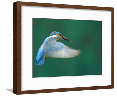 An Adult Male Common Kingfisher, Alcedo Atthis, Hovering over Water-Joe Petersburger-Framed Art Print