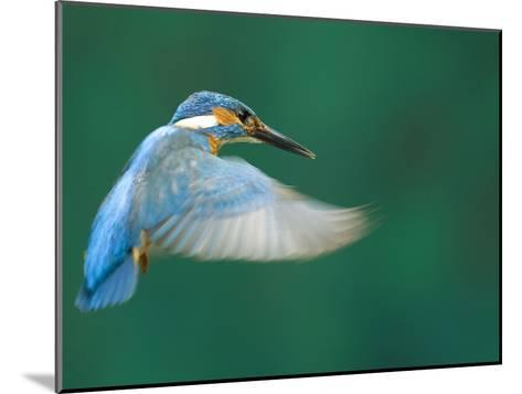 An Adult Male Common Kingfisher, Alcedo Atthis, Hovering over Water-Joe Petersburger-Mounted Photographic Print