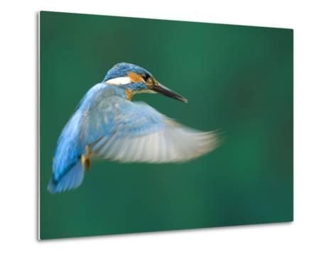 An Adult Male Common Kingfisher, Alcedo Atthis, Hovering over Water-Joe Petersburger-Metal Print