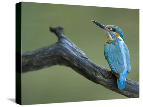 An Adult Male Common Kingfisher, Alcedo Atthis, on a Branch-Joe Petersburger-Stretched Canvas Print