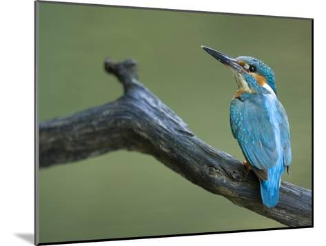 An Adult Male Common Kingfisher, Alcedo Atthis, on a Branch-Joe Petersburger-Mounted Photographic Print