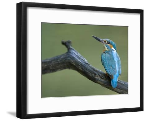 An Adult Male Common Kingfisher, Alcedo Atthis, on a Branch-Joe Petersburger-Framed Art Print