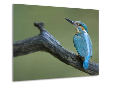 An Adult Male Common Kingfisher, Alcedo Atthis, on a Branch-Joe Petersburger-Metal Print