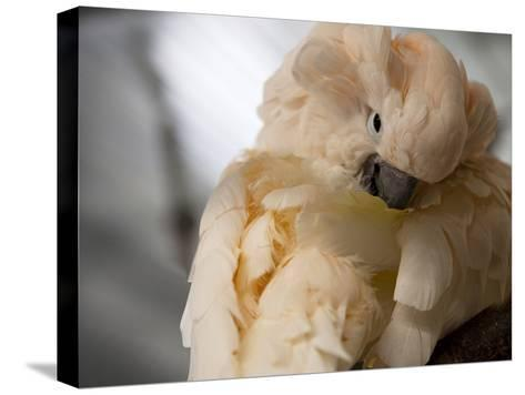 Preening Moluccan Cockatoo (Cacatua Moluccensis), World Parrot Refuge-Pete Ryan-Stretched Canvas Print