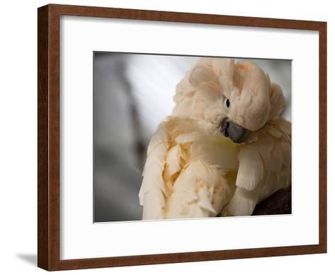 Preening Moluccan Cockatoo (Cacatua Moluccensis), World Parrot Refuge-Pete Ryan-Framed Art Print