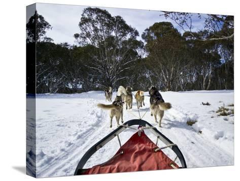 A Team of Siberian Husky Sled Dogs Pull a Sled Through Alpine Snow-Jason Edwards-Stretched Canvas Print