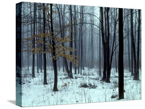 An Early Winter Forest Scene in Eastern Ontario-Kenneth Ginn-Stretched Canvas Print