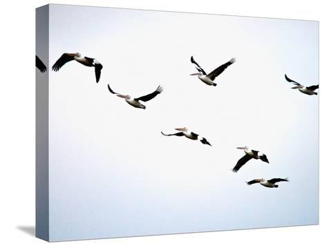 A Flock of Australian Pelicans Fly Against an Overcast Sky-Brooke Whatnall-Stretched Canvas Print