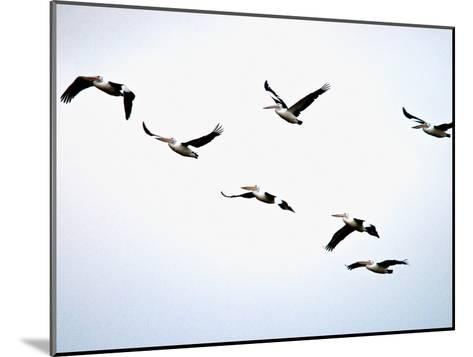 A Flock of Australian Pelicans Fly Against an Overcast Sky-Brooke Whatnall-Mounted Photographic Print