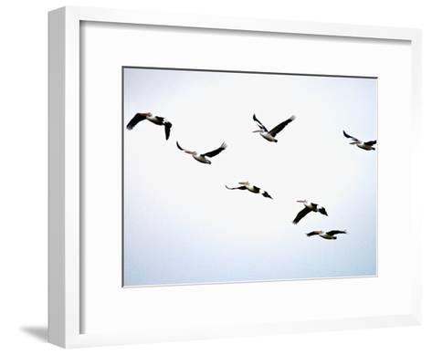 A Flock of Australian Pelicans Fly Against an Overcast Sky-Brooke Whatnall-Framed Art Print