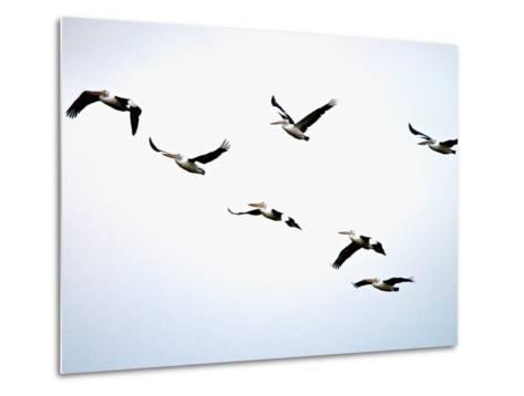 A Flock of Australian Pelicans Fly Against an Overcast Sky-Brooke Whatnall-Metal Print