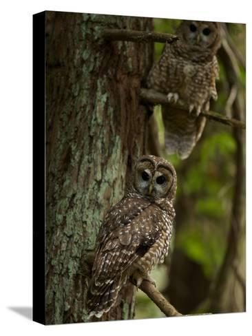 Threatened Northern Spotted Owls in a Redwood Forest-Michael Nichols-Stretched Canvas Print