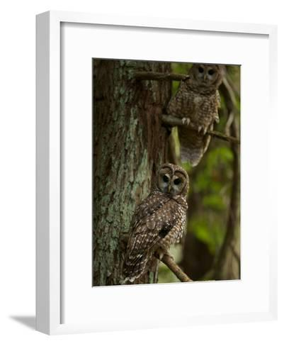 Threatened Northern Spotted Owls in a Redwood Forest-Michael Nichols-Framed Art Print