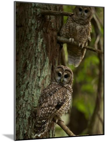 Threatened Northern Spotted Owls in a Redwood Forest-Michael Nichols-Mounted Photographic Print