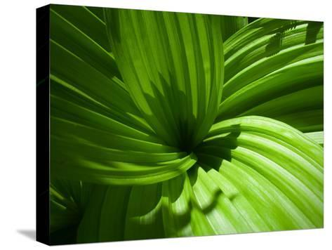 Plant Life in a Redwood Forest-National Geographic Photographer-Stretched Canvas Print