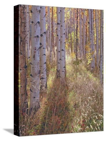 Grove of Aspen Trees at Sunset-Greg-Stretched Canvas Print