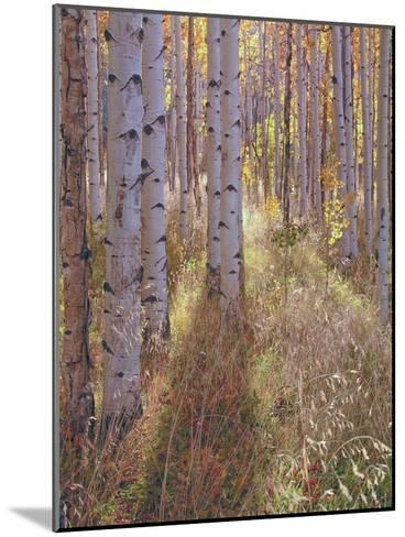 Grove of Aspen Trees at Sunset-Greg-Mounted Photographic Print