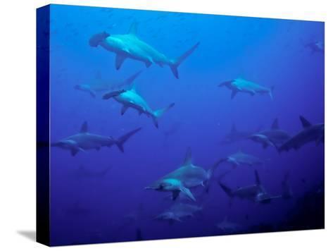 Hammerhead Shark Schooling Off a Seamount-Ben Horton-Stretched Canvas Print