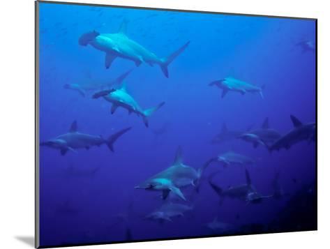 Hammerhead Shark Schooling Off a Seamount-Ben Horton-Mounted Photographic Print