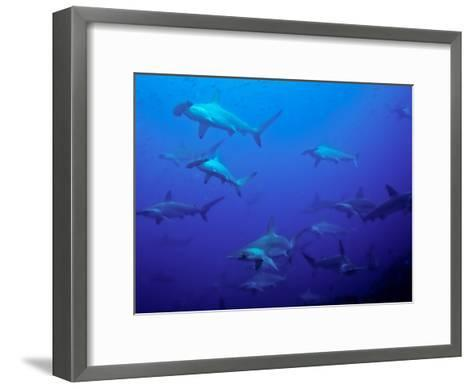 Hammerhead Shark Schooling Off a Seamount-Ben Horton-Framed Art Print