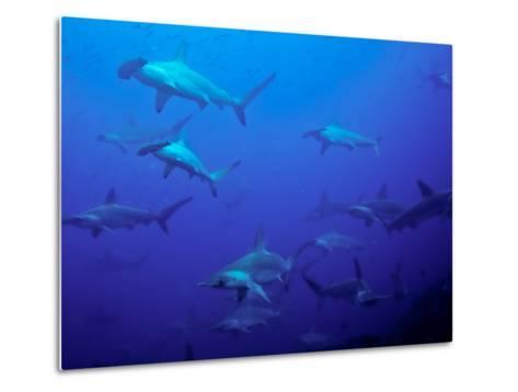 Hammerhead Shark Schooling Off a Seamount-Ben Horton-Metal Print