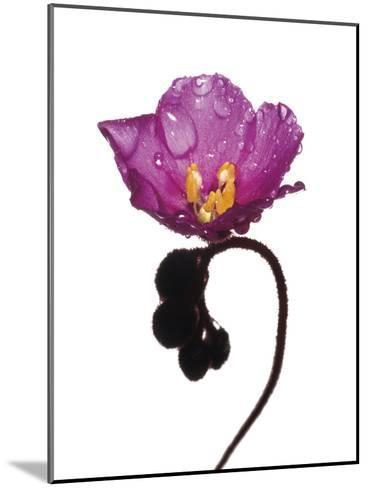 An Alice Sundew Flower Collected from a Sample of Mountain Fynbos-David Liittschwager-Mounted Photographic Print