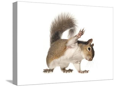 An Eastern Gray Squirrel-David Liittschwager-Stretched Canvas Print