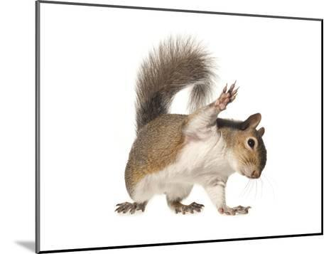 An Eastern Gray Squirrel-David Liittschwager-Mounted Photographic Print