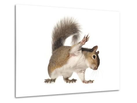 An Eastern Gray Squirrel-David Liittschwager-Metal Print