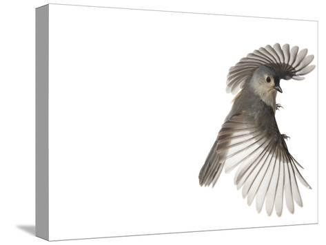 A tufted titmouse, from a deciduous forest, in flight.-David Liittschwager-Stretched Canvas Print